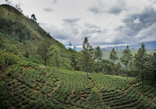 tea plantation on slope